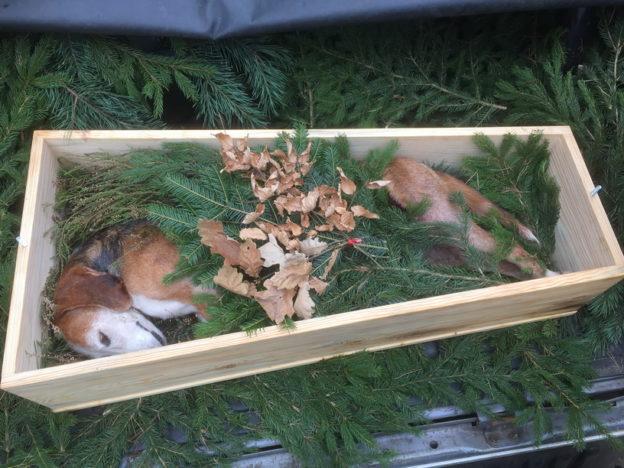 Wolfsangriff auf Bracke: Chronik eines Hundetodes